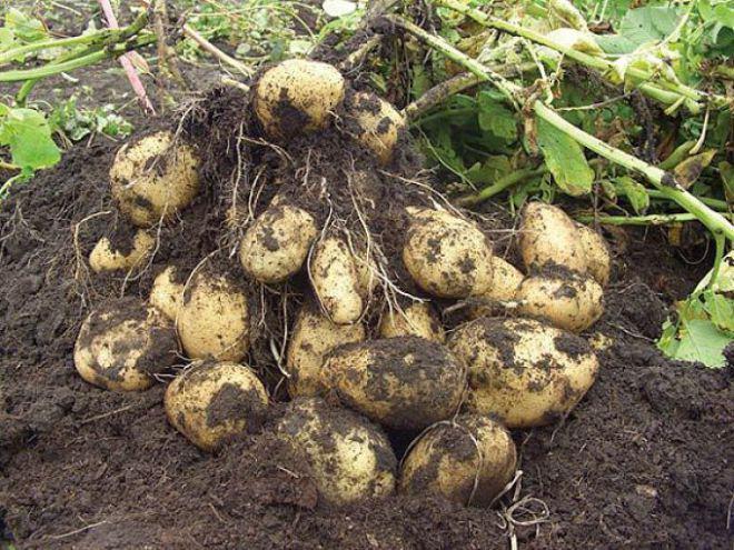 Как и чем удобрять картофель